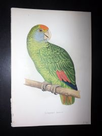 Greene Parrots in Captivity 1887 HC Bird Print. Dufresne's Amazon